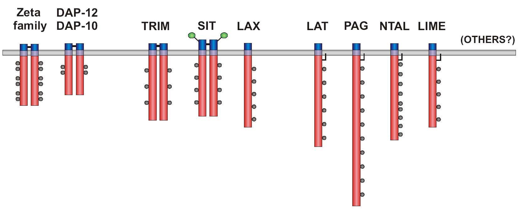 TRANSMEMBRANE ADAPTOR PROTEINS (TRAPs) IN GENERAL Closely associated with