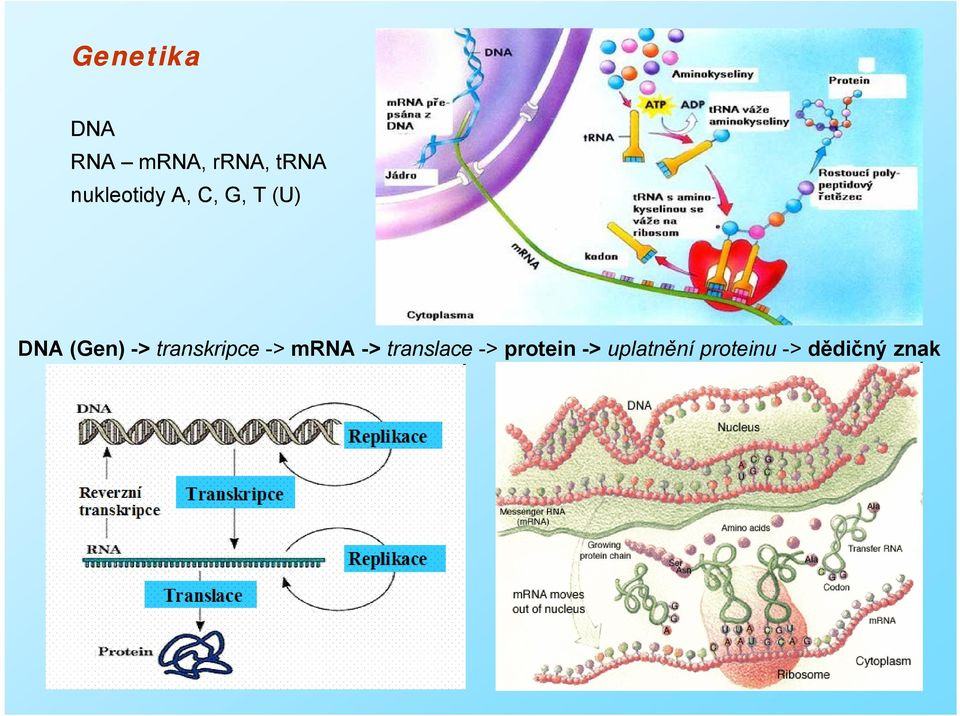 transkripce -> mrna -> translace ->