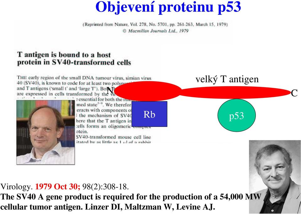 The SV40 A gene product is required for the
