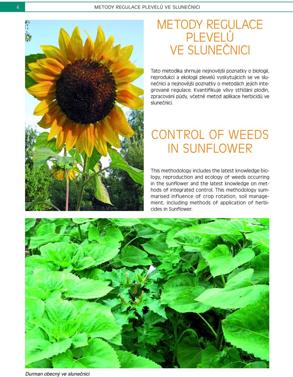 CONTROL OF WEEDS IN SUNFLOWER This methodology includes the latest knowledge biology, reproduction and ecology of weeds occurring in the sunflower and the latest knowledge on