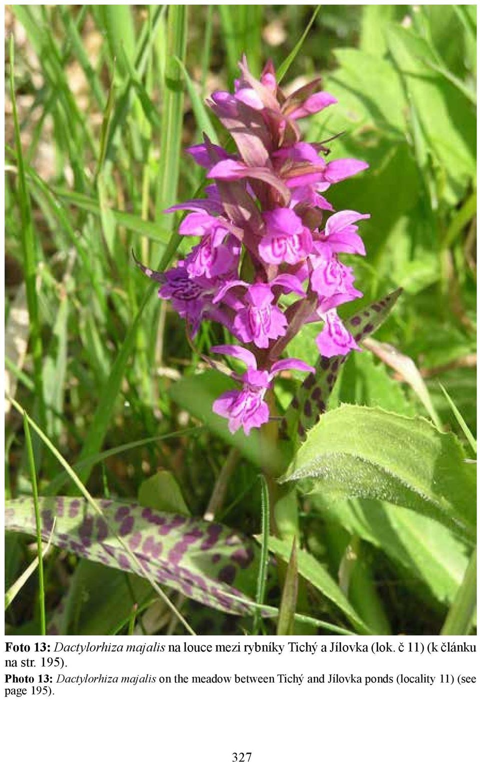Photo 13: Dactylorhiza majalis on the meadow between