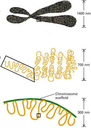 SMC proteiny (structure maintenance of chromosome proteins) Mohou