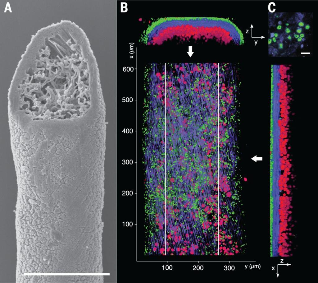 right: Fluorescent cell imaging of dual fungal elements in lichen thalli. 2016 nový objev už né houba a řasa, ale houba, houba a řasa... (A) Scanning el. microsc. of a thallus filament of B.