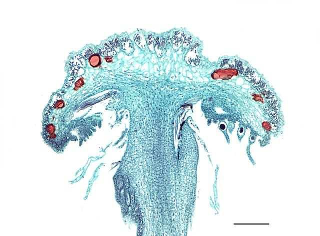 org/wikipedia/commons/thumb/9/9f/marchantia_archegonium_receptacle.